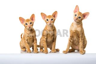 Orientalisch Kurzhaar Katzen