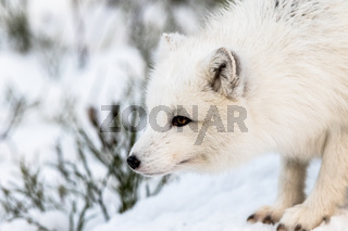 Arctic fox with winter fur, looking to the left, snow and bushes in the background. Male animal.