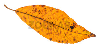 back side of dried yellow leaf of ash tree