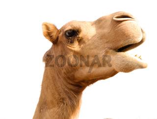 Portrait of funny camel head, Sharjah, UAE