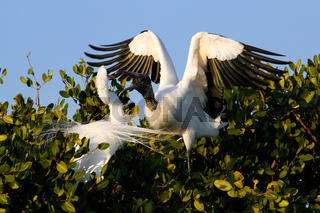 Great Egret and Wood stork fighting