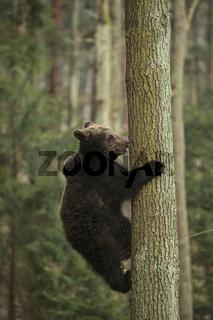 guter Kletterer... Europäischer Braunbär *Ursus arctos*