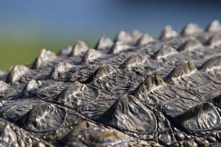 Panzer, Haut vom Nilkrokodil (Crocodylus niloticus) am Ufer vom Chobe Fluss, Chobe River, Chobe National Park, Botswana, Afrika, Nile crocodile armor, Africa