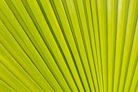 palm tree leaf background , palm tree leaf closeup