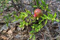 Fruit of a pomegranate on a branch of bush. Sithonia Peninsula.