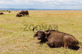 buffalo bulls grazing in savannah at africa