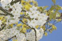 20180417_Prunus avium, Süßkirsche, Sweet Cherry008Biene.jpg