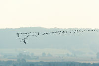 Flock of geese flying in the landscape