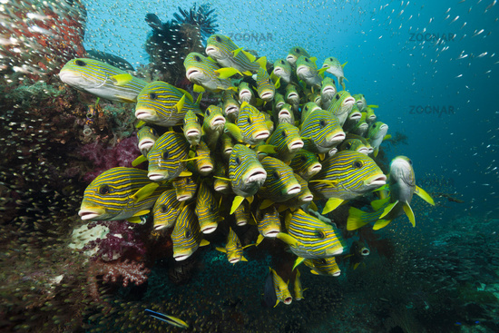 Schwarm Goldstreifen-Suesslippen, Indonesien