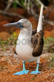 Blue-footed Booby on North Seymour Island, Galapagos National Park, Ecuador