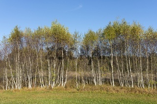 Birkenhain (Betula) im Naturschutzgebiet Irndorfer Hardt