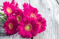 Pink gerbera flowers.