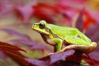 european green tree frog standing on leaves ( Hyla arborea )