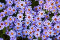 Small Prurple Flowers
