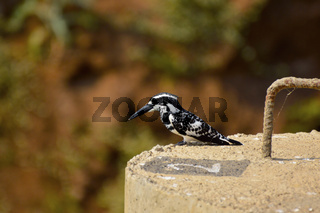 Pied Kingfisher bird perched in sunlight