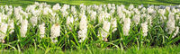 White Hyacinths background.