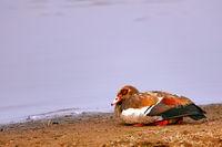 Nilgans liegt am Ufer, Kruger NP, Südafrika, Egyptian goose, Kruger NP, South Africa
