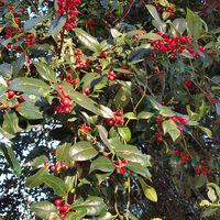 Reife Früchte der Japanischen Kornelkirsche, Cornus officinalis im Herbst