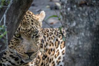 Big male Leopard hiding behind a tree.
