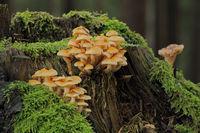 Pilzgruppe auf einem Baumstumpf
