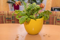 orange Gerbera welkt und verblüht - Zimmerblume in gelbem Übertopf