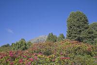 Alpenrosenblüte in den Stubaier Alpen