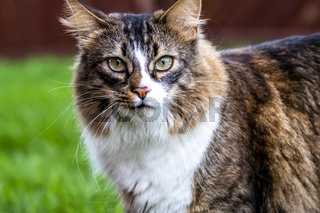 Close-up of Maine Coon cat outdoor on the lawn