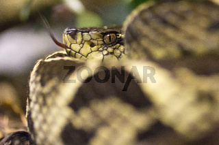 Snake with tongue out. Close up.