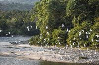 Amazonian rainforest. Misahualli River. Napo province, Ecuador