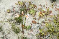 Ananuca flowers in Atacama desert, Chile. The event Flowering desert (Spanish: desierto florido) is related to the El Nino phenomenon