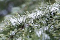 frozen pine needles in winter