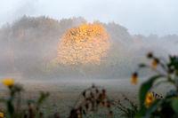 Big maple tree with orange autumn foliage on a foggy morning.