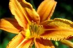 gelborange Lilienblüte - lilium