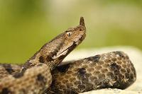 close-up of female nosed viper