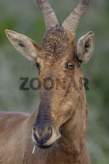 Red Hartebeest portret, Addo Elephant National Park