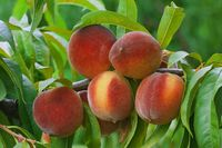 Ripe Peach Branch