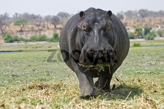 Flusspferd oder Nilpferd, Hippopotamus amphibius am Chobe Fluss, Chobe-Nationalpark, Botsuana, Afrika, Hippopotamus or Hippo at the Chobe River, Chobe National Park, Botswana, Africa
