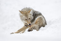 Fellpflege... Kojote *Canis latrans*