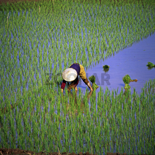 Vietnamesin, Reisfeld, Vietnam, Asien