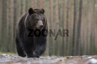 beeindruckende Begegnung... Europäischer Braunbär *Ursus arctos*