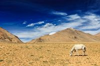 Horse grazing in Himalayas. Ladakh, India