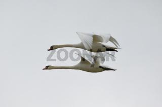 Fliegende Schwäne