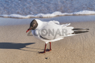 Lachmoewe | Black-headed gull