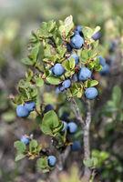 Heidelbeeren (Blaubeeren), Heidekrautgewächse (Ericaceae), Haute-Nendaz, Wallis, Schweiz