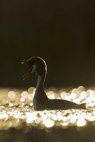 goldenes Licht... Haubentaucher *Podiceps cristatus*, stimmungsvolle Silhouette, Gegenlichtaufnahme