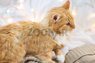 red cat lying on blanket at home at christmas