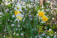 Wild Daffodil and Wood anemone in spring on a meadow