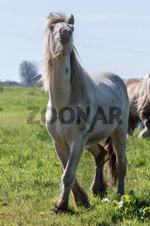 Tinker Cremello auf der Weide