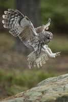 während der Landung... Waldkauz *Strix aluco*