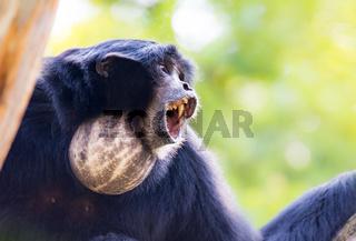 Howling siamang gibbon